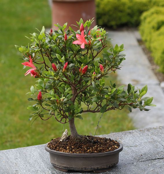 Lieblings Azaleen - bonsaipflege.ch &EQ_24