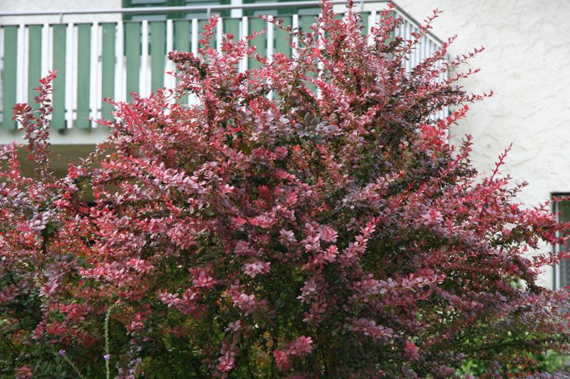 Rote >> Berberitze - bonsaipflege.ch