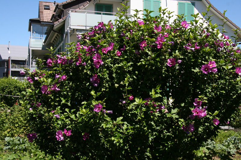 Berühmt Eibisch - bonsaipflege.ch #QW_43