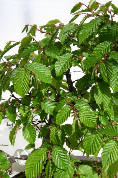 g65 bonsai hainbuche carpinus betulus sehr al. Black Bedroom Furniture Sets. Home Design Ideas