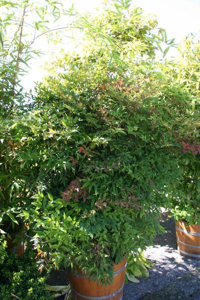 Himmlischer Bambus Bonsaipflege Ch