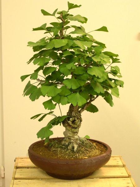 ginkgo biloba bonsai colorado rocky mountain bonsai. Black Bedroom Furniture Sets. Home Design Ideas