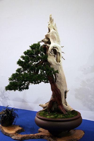 Atemberaubend Eibe - bonsaipflege.ch &AO_84