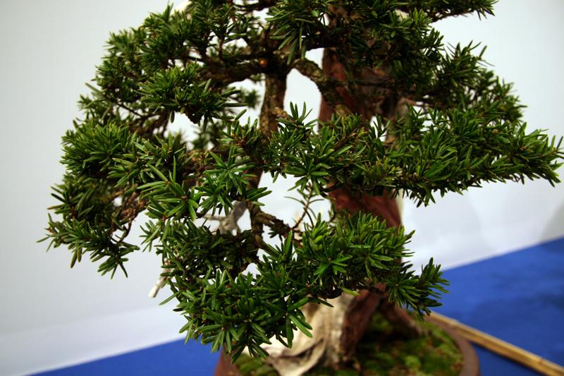 Ganz und zu Extrem Eibe - bonsaipflege.ch @MH_55
