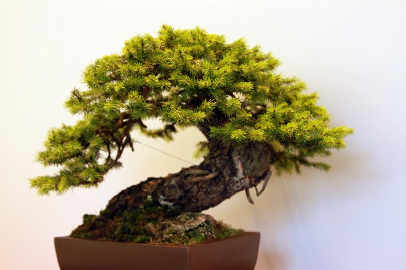 Berühmt Fichte - bonsaipflege.ch @FS_21