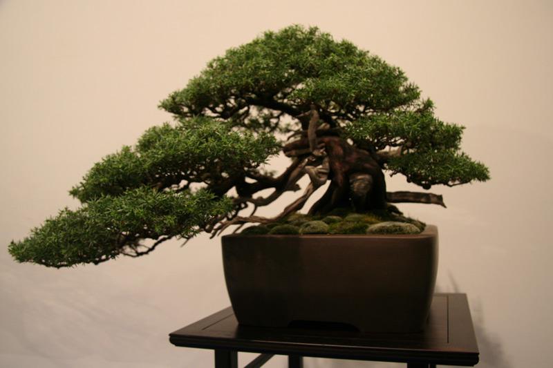 Bonsai Gestalten eibe - bonsaipflege.ch