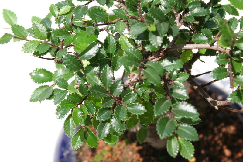 Chinesische Ulme - bonsaipflege.ch