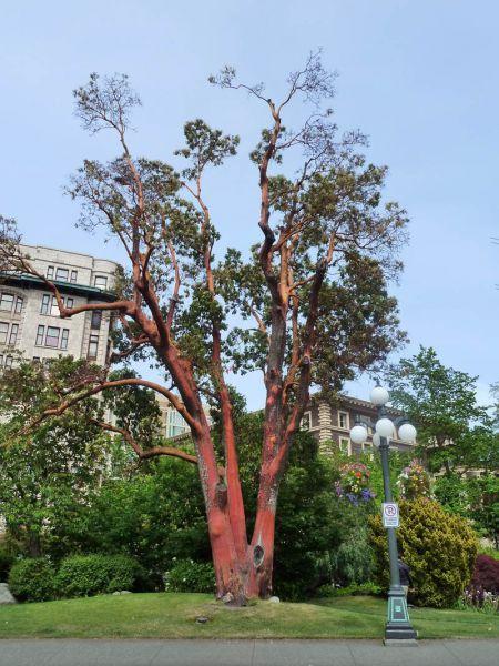 Erdbeerbaum - Zimmerbonsai arten ...