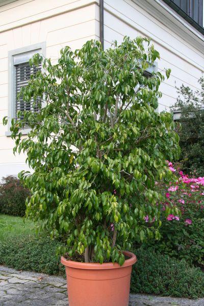 Super Ficus - bonsaipflege.ch @NR_86