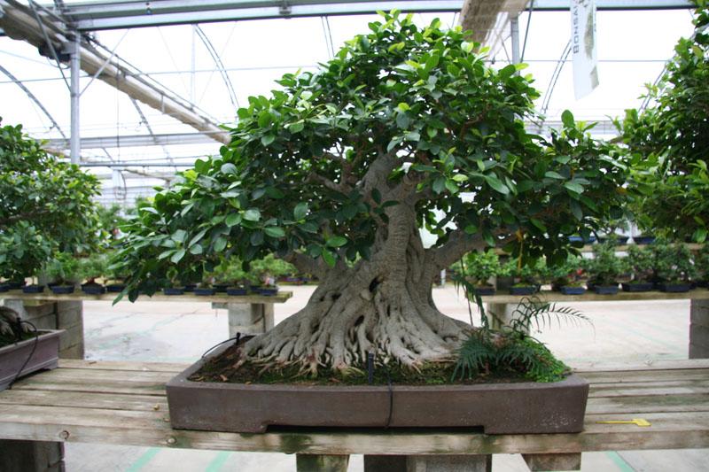 Atemberaubend Ficus - bonsaipflege.ch @IK_68