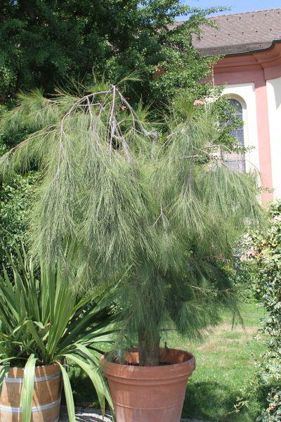 K ngeruhbaum neu - Zimmerbonsai arten ...