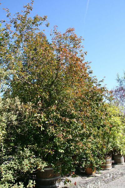 Kirschmyrte - Zimmerbonsai arten ...