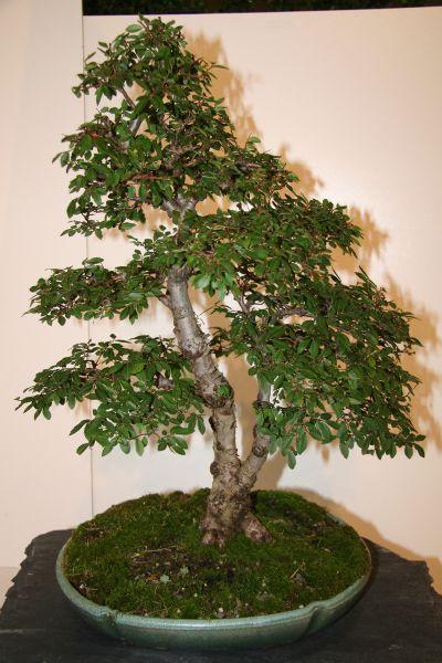 Japanische Ulme - bonsaipflege.ch