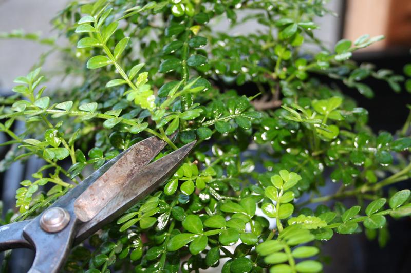 japanischer pfeffer neu bonsaipflegech