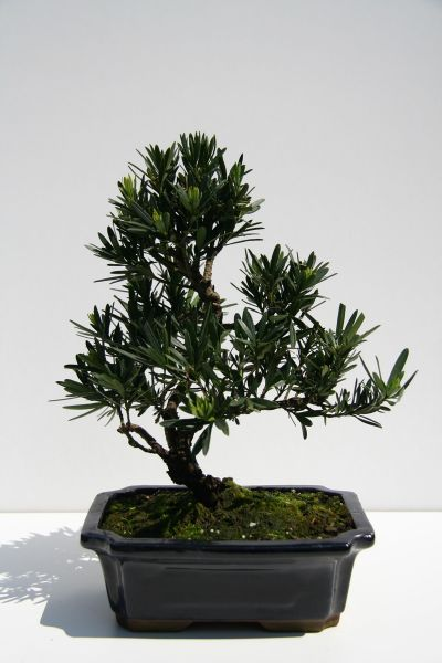 Bonsai steineibe
