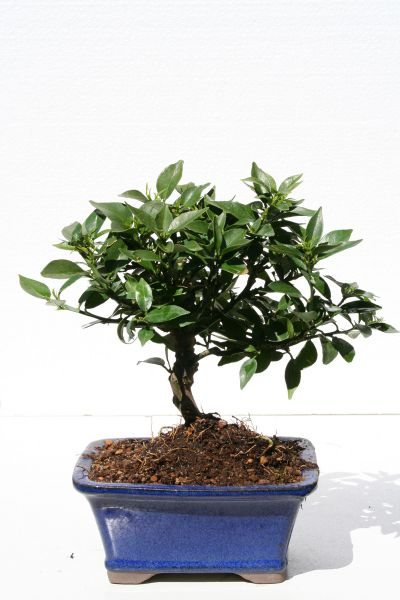 Zitronen bonsai