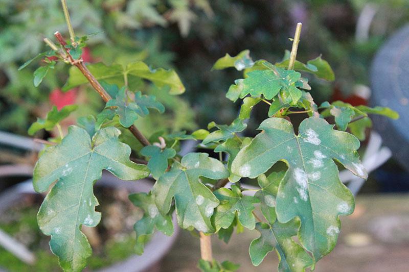 Mehltau bonsaipflege ch ~ 13085652_Sukkulenten Krankheiten Mehltau